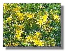 St. Johnswort in the field